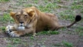 Another lion dies at Chennai zoo due to Covid-19