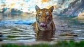 After tiger's death at Ranchi zoo, 12 big cats in the clear after negative Covid tests