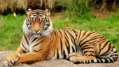 Jharkhand: All 21 felines in Ranchi Zoo undergo Covid-19 test post tiger Shiva's death