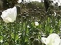 Naxals grow opium to fund arms