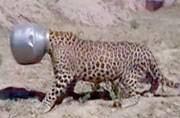 Rajasthan: Leopard's head gets stuck in utensil while trying to drink water