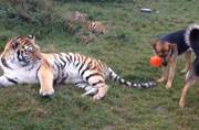 Watch the unsual friendship between a group of dogs and tigers