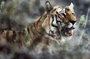 Corbett Tiger Reserve: Tourists block frightened tiger's path