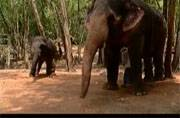 Kerala's elephants undergo rehabilitation after facing acts of cruelty