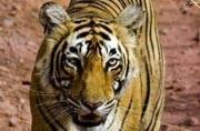 Tigress T-83 from Ranthambore National Park falls into well, rescued