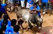Why jallikattu is close to every Tamilian's heart?