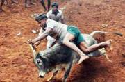 Tradition vs torture on jallikattu: Animal rights activist tears into Katju's argument