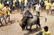 Supreme Court says no new law on jallikattu, slams Tamil Nadu govt