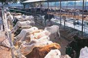 Now cow slaughter will attract life imprisonment in Gujarat