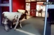 Udderly Ridiculous! Cows Go Window Shopping in Russian Mall