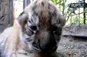 Newborn Amur Tiger Triplets Give Hope to Most Endangered Tiger Species