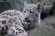 Adorable Snow Leopard Cub Unveiled to Public at Bronx Zoo Has Unique Lineage