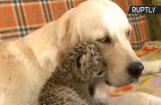 Golden Retriever Wet-Nurses Leopard Cub Separated from Birth Mom