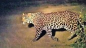 leopard plays on road, Tamil Nadu