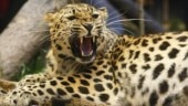 Injured leopard is rescued in West Bengal's Alipurduar district