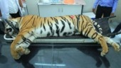 Avni post-mortem report, tigress Avni