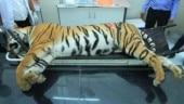 Avni post-mortem report, tigress Avni