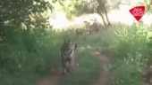 Tiger chases tourist vehicle, Viral video, Tadoba Andhari Tiger Reserve, Maharashtra news