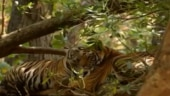 India achieves the target of doubling tigers population four years before deadline