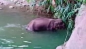 Shocker from Kerala: Pregnant elephant dies after being fed pineapple stuffed with crackers