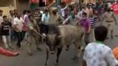 Angry bull enters Mamata Banerjee's roadshow in West Bengal's Howrah