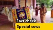 Does Tirupati temple use the milk of only these special cows for puja?