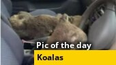 Image of the day: Watch how koalas are being rescued from Australia's wildfires