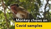 Monkey chews on Covid-19 test samples in Meerut