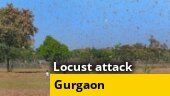 WATCH: Huge swarms of locust attack hit various areas in Gurgaon