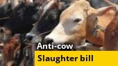 Karnataka cabinet clears anti-cow slaughter ordinance