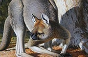 Fossils of an ancient extinct marsupial lion found in Australia