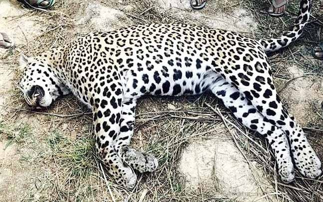Leopards Face A Grave Threat In The Thunag Area Of Mandi District As Fear