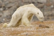 Starving polar bear nearing death shows the reality of climate change
