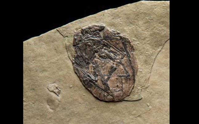 Pterosaurs egg