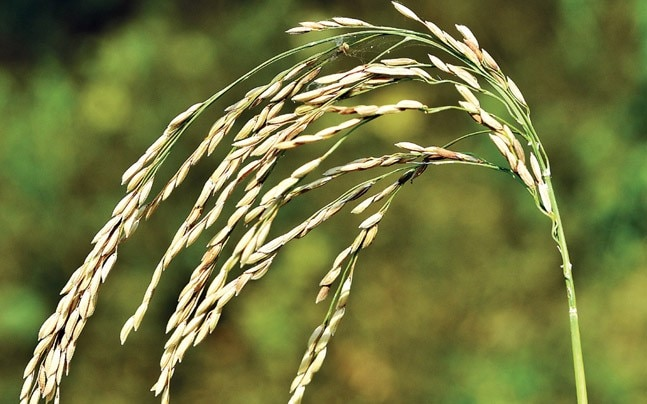 Komol is a high-yield, low fertiliser usage variety of paddy.