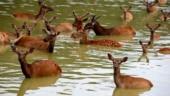 deer float in river, Uttarakhand