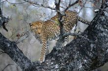 One of the most agile of all the big cats, leopards can jump almost six metres horizontally and three metres vertically.