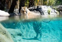 Tigers are excellent swimmers and do not avoid water.
