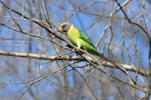 A parrot seen inside Ranthambore National Park