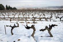 Snow-covered vineyard