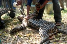 Leopard rescued by forest officials