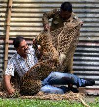 Leopard rescued from Dibrugarh in Assam