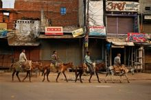 Indian labourers head to work on mules