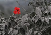 Ash covered Hibiscus flower