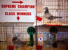 Homing Pigeon World Show