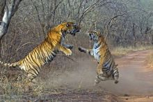 Sometimes big cats find themselves in big spats. Tiger brothers may fight over the territory they both want.