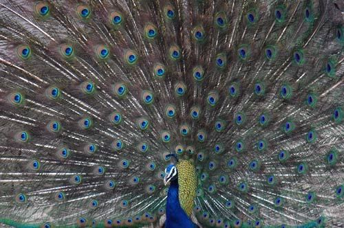 A peacock fans its dazzling plumage in Ranthambore.