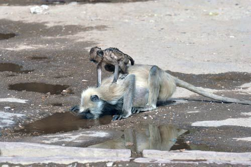 A monkey drinks water from a stream in Ranthambore.