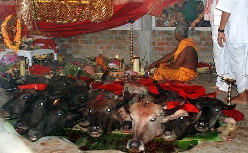Animal sacrifice during Durga Puja in assam