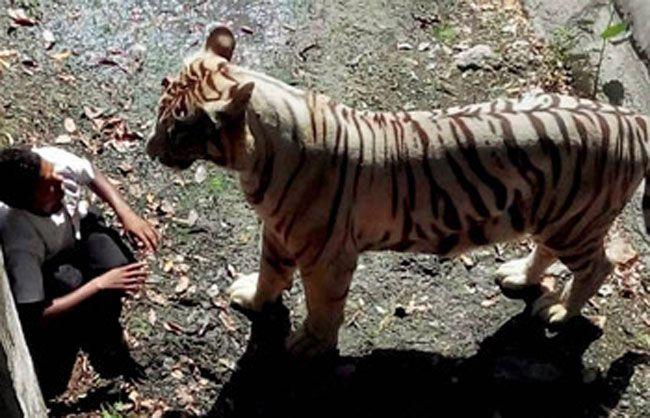White tiger mauls man